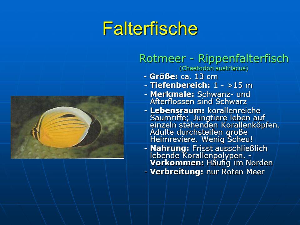 Falterfische Rotmeer - Rippenfalterfisch - Tiefenbereich: 1 - >15 m