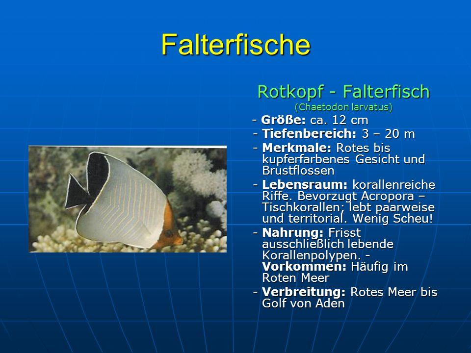 Falterfische Rotkopf - Falterfisch - Tiefenbereich: 3 – 20 m