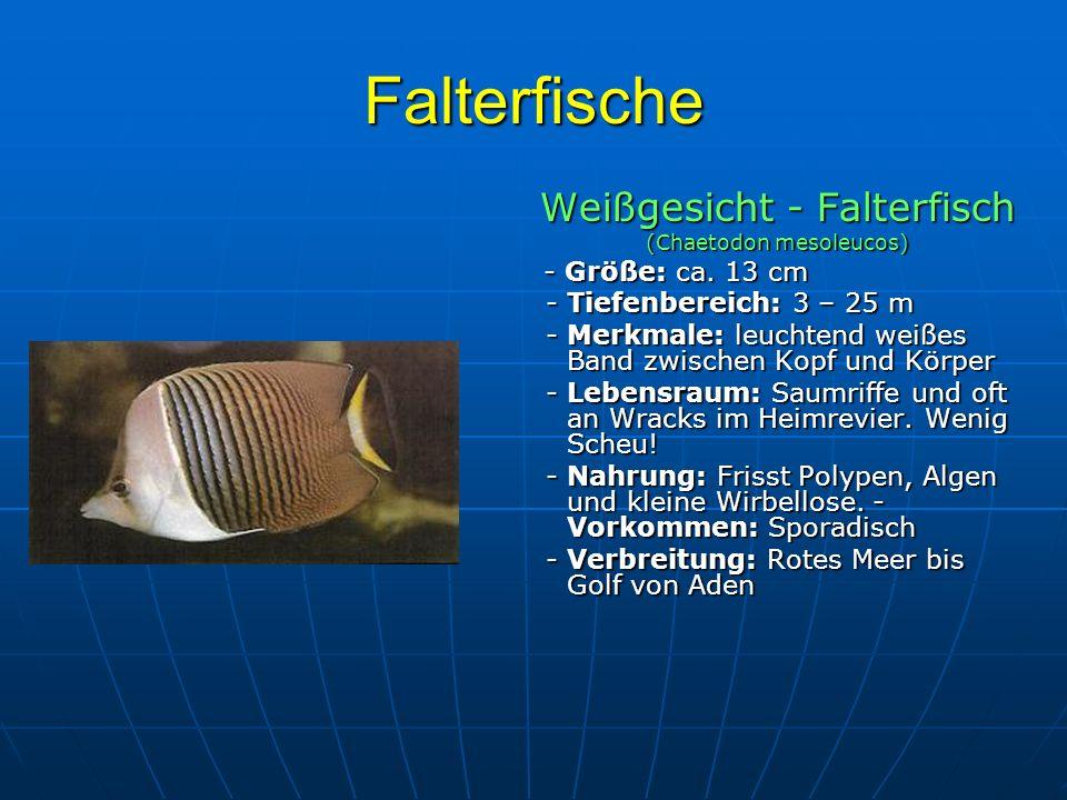 Falterfische Weißgesicht - Falterfisch - Tiefenbereich: 3 – 25 m