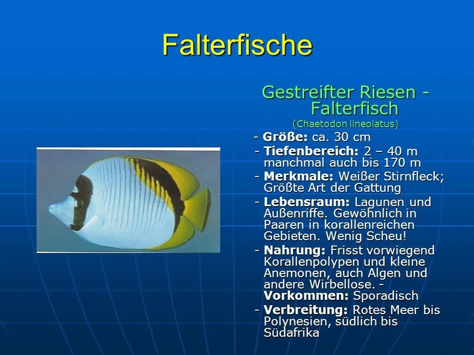 Falterfische Gestreifter Riesen - Falterfisch