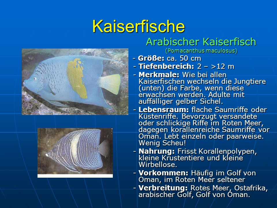 Kaiserfische Arabischer Kaiserfisch - Tiefenbereich: 2 – >12 m
