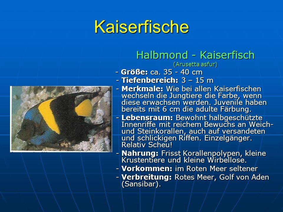 Halbmond - Kaiserfisch