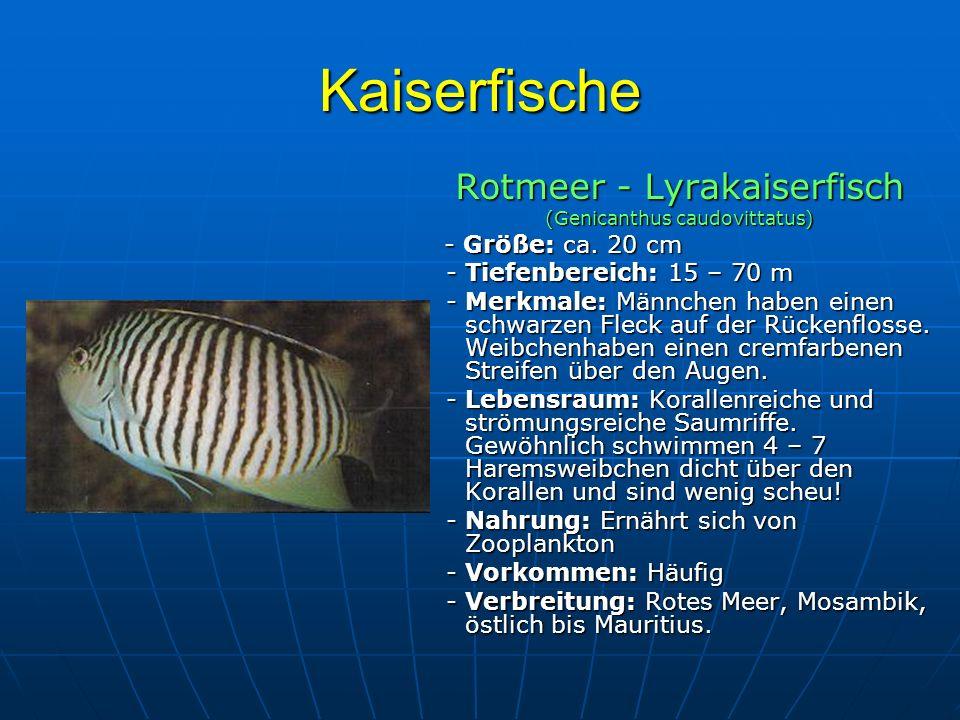 Kaiserfische Rotmeer - Lyrakaiserfisch - Tiefenbereich: 15 – 70 m
