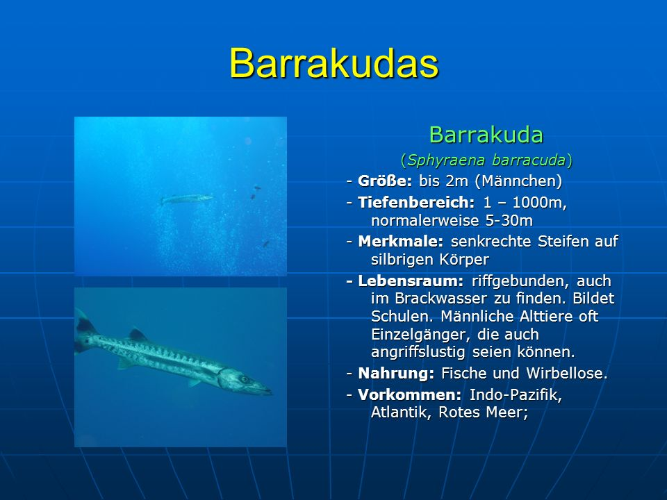 (Sphyraena barracuda)