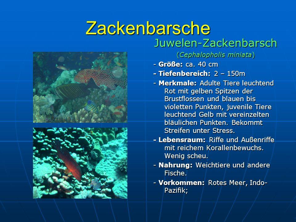 Zackenbarsche Juwelen-Zackenbarsch (Cephalopholis miniata)