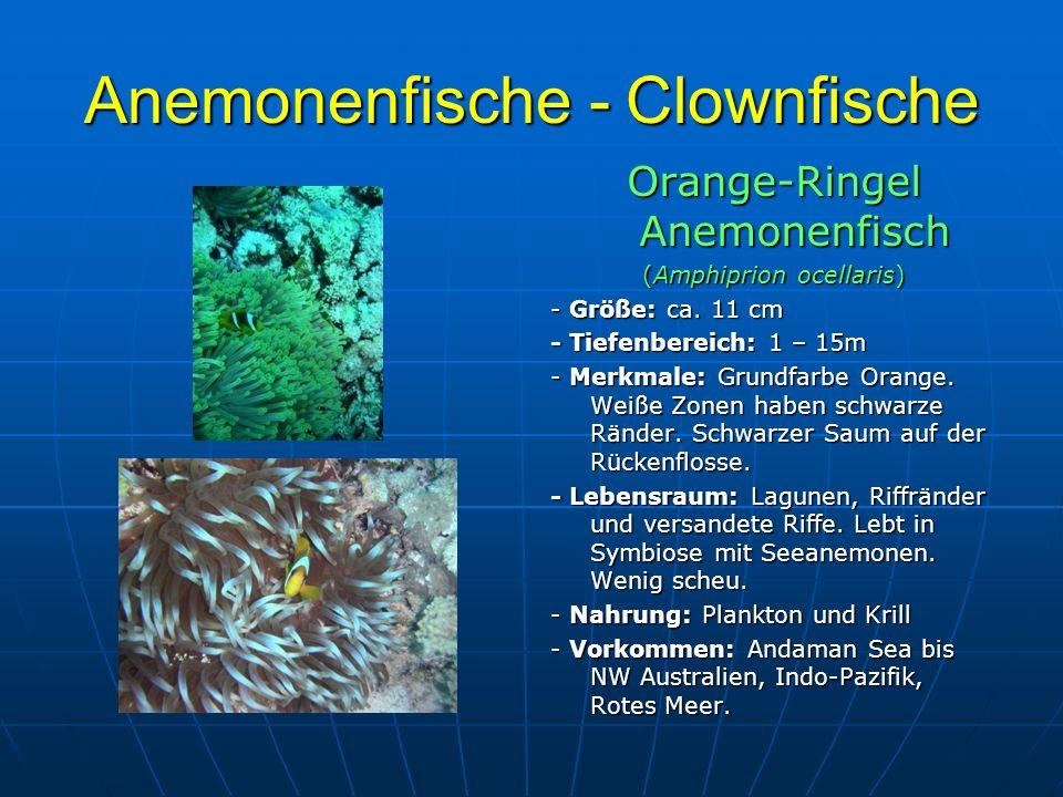 Anemonenfische - Clownfische