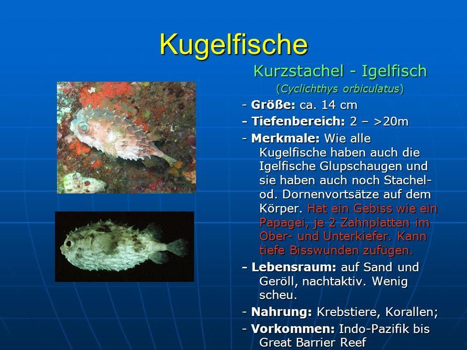 Kugelfische Kurzstachel - Igelfisch - Größe: ca. 14 cm