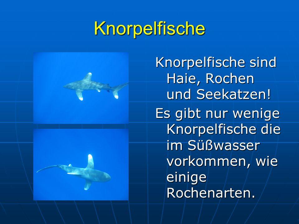 Knorpelfische Knorpelfische sind Haie, Rochen und Seekatzen!