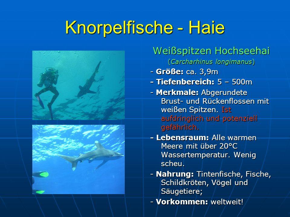 Knorpelfische - Haie Weißspitzen Hochseehai - Größe: ca. 3,9m