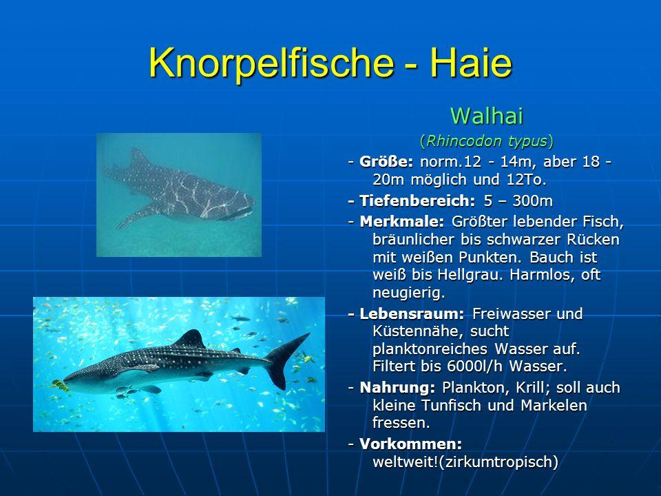 Knorpelfische - Haie Walhai (Rhincodon typus)
