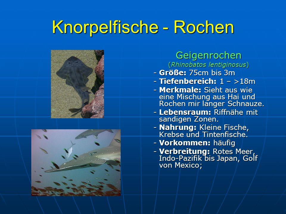 Knorpelfische - Rochen