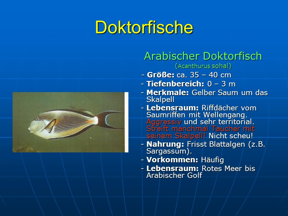 Arabischer Doktorfisch