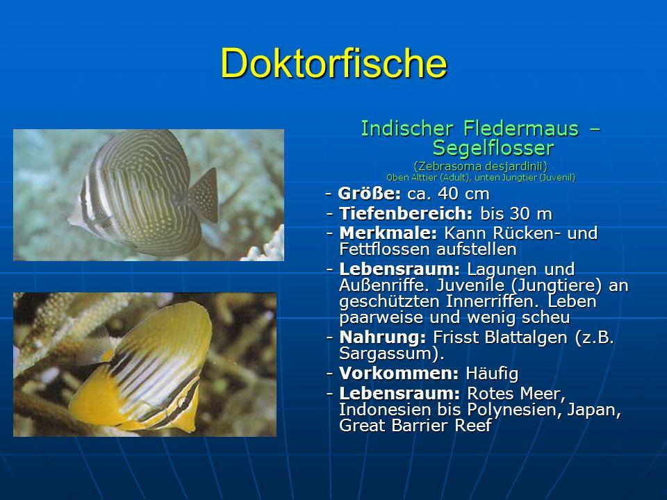 Doktorfische Indischer Fledermaus – Segelflosser