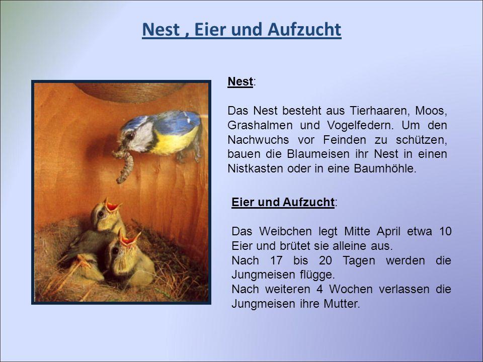 Nest , Eier und Aufzucht Nest: