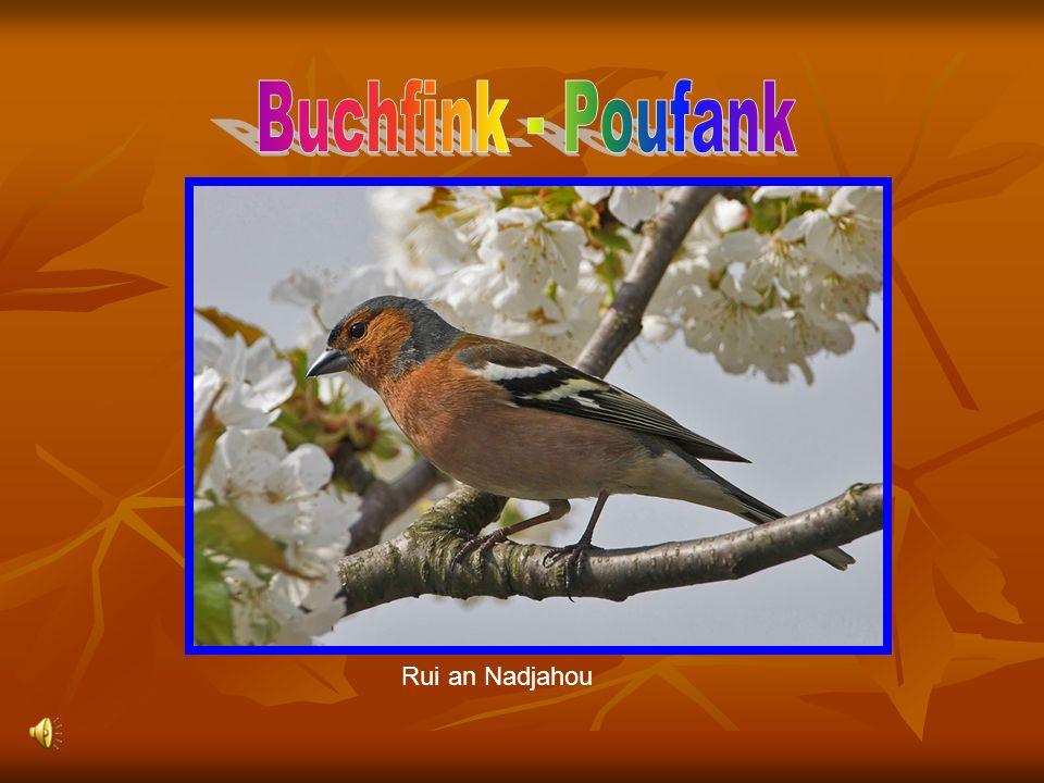 Buchfink - Poufank Rui an Nadjahou