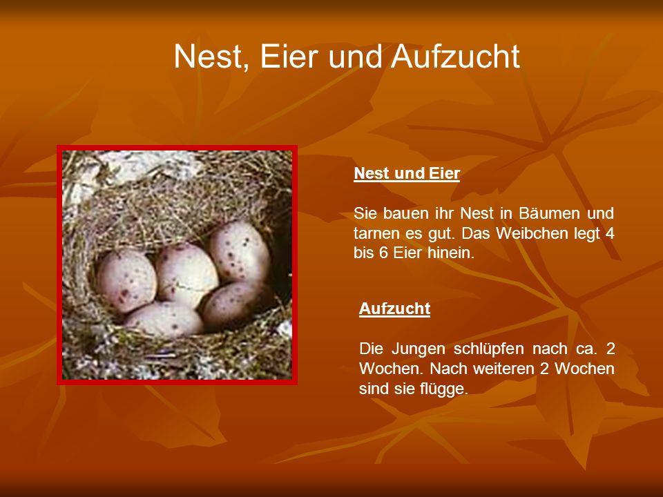 Nest, Eier und Aufzucht Nest und Eier