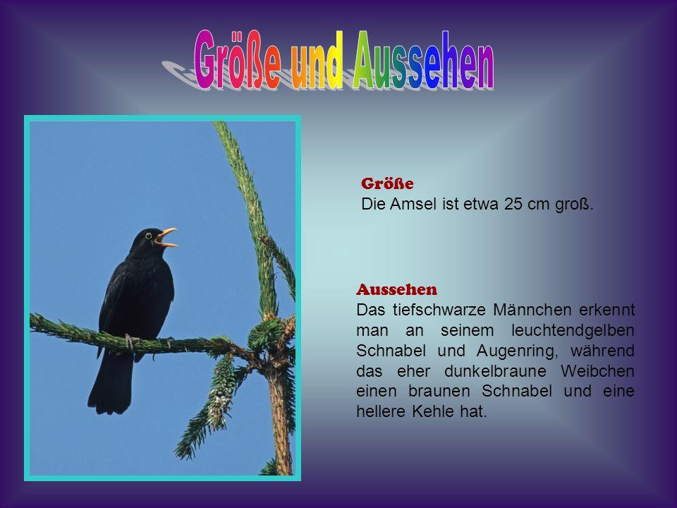 Größe und Aussehen Größe Die Amsel ist etwa 25 cm groß. Aussehen