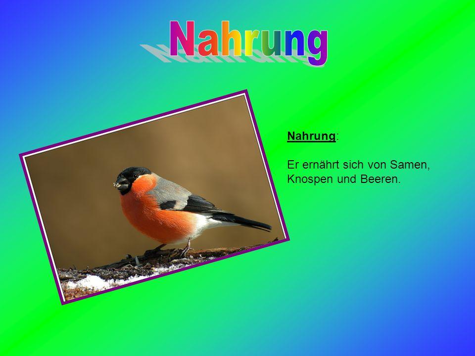Nahrung Nahrung: Er ernährt sich von Samen, Knospen und Beeren.