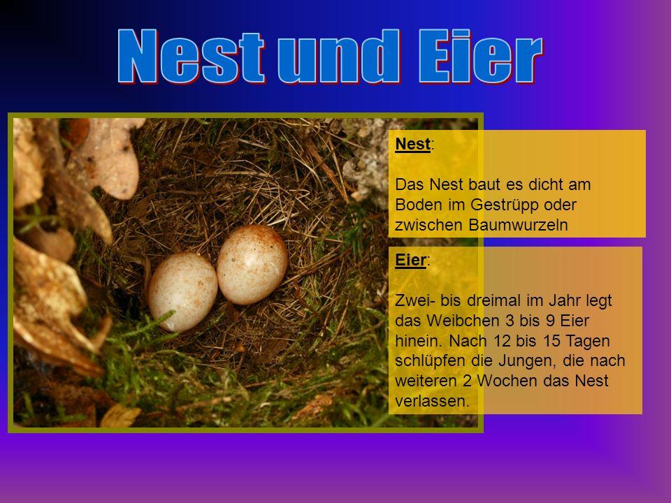 Nest und Eier Nest: Das Nest baut es dicht am Boden im Gestrüpp oder zwischen Baumwurzeln. Eier: