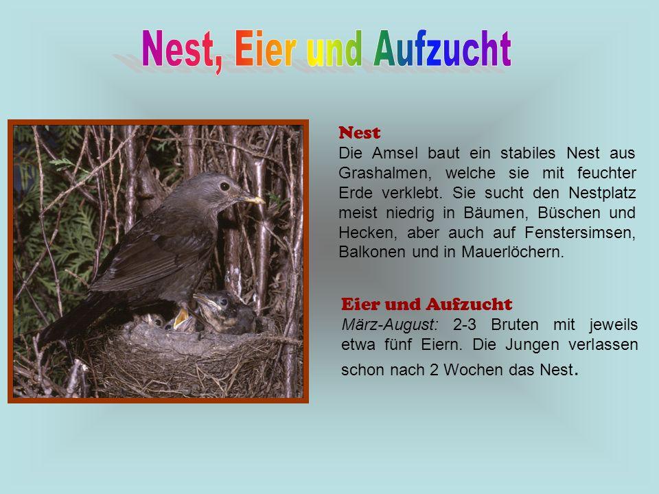 Nest, Eier und Aufzucht Nest Eier und Aufzucht