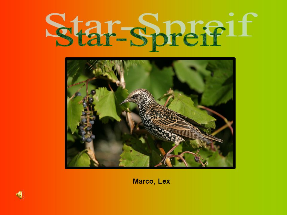 Star-Spreif Marco, Lex