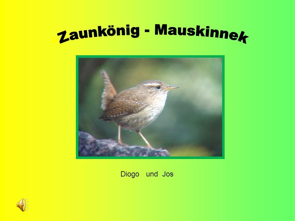 Zaunkönig - Mauskinnek