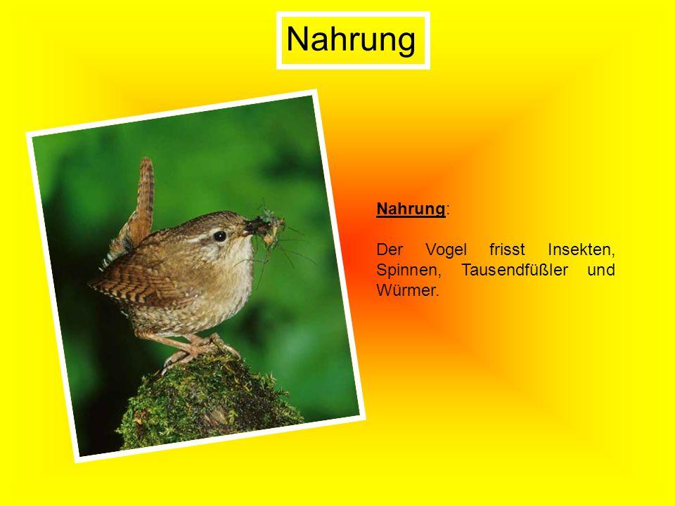 Nahrung Nahrung: Der Vogel frisst Insekten, Spinnen, Tausendfüßler und Würmer.