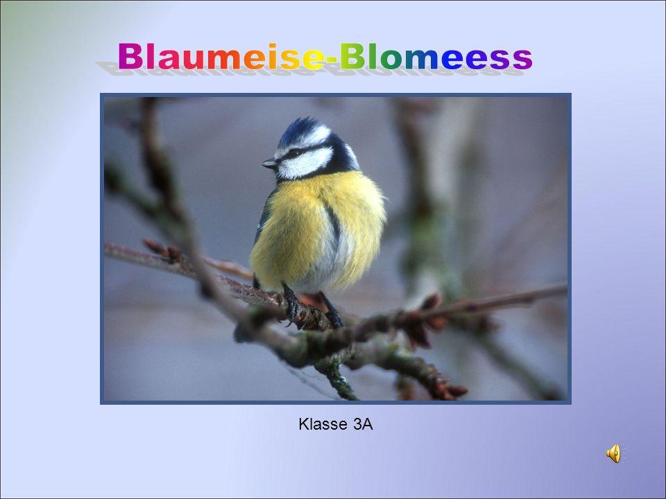 Blaumeise-Blomeess Klasse 3A