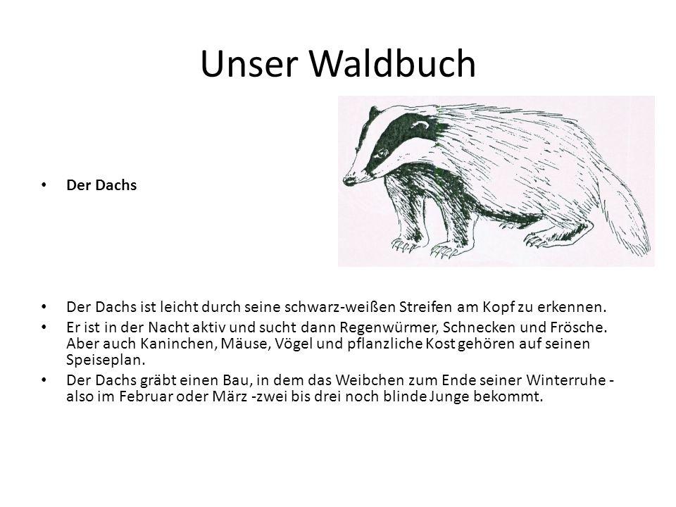 Unser Waldbuch Der Dachs
