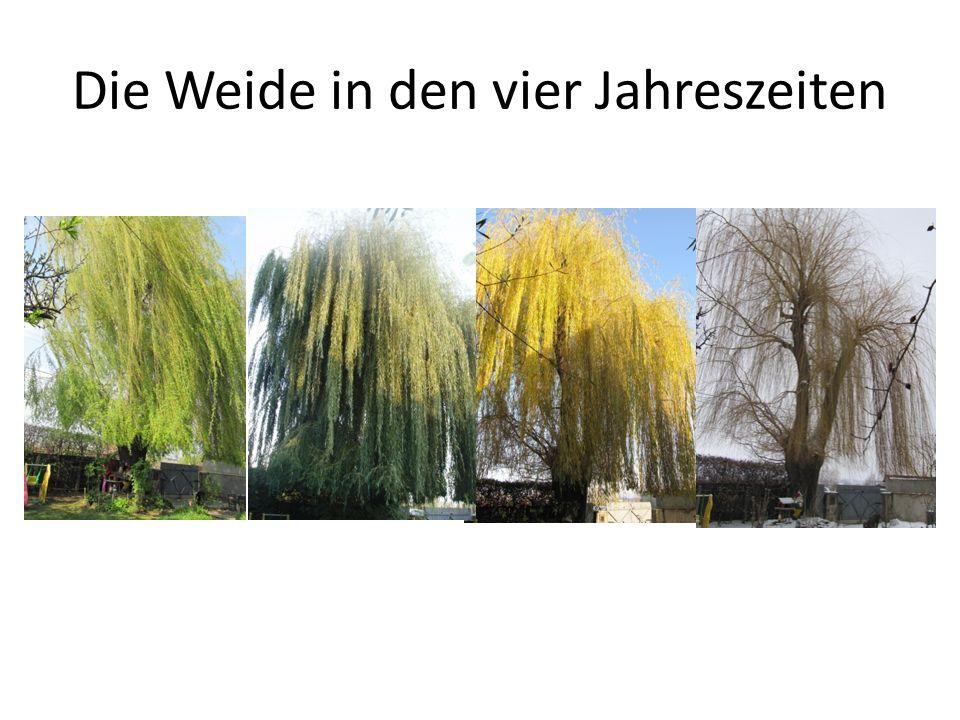 Die Weide in den vier Jahreszeiten