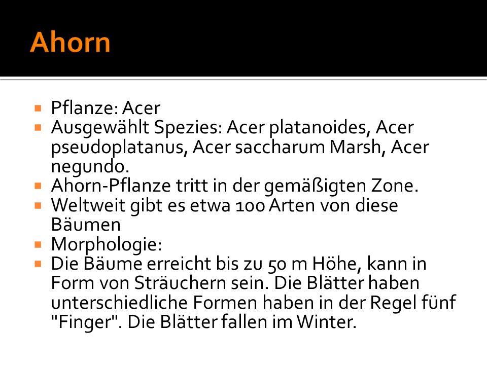Ahorn Pflanze: Acer. Ausgewählt Spezies: Acer platanoides, Acer pseudoplatanus, Acer saccharum Marsh, Acer negundo.