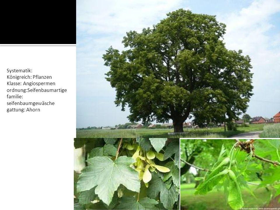 Systematik: Königreich: Pflanzen. Klasse: Angiospermen. ordnung:Seifenbaumartige. familie: seifenbaumgewäsche.