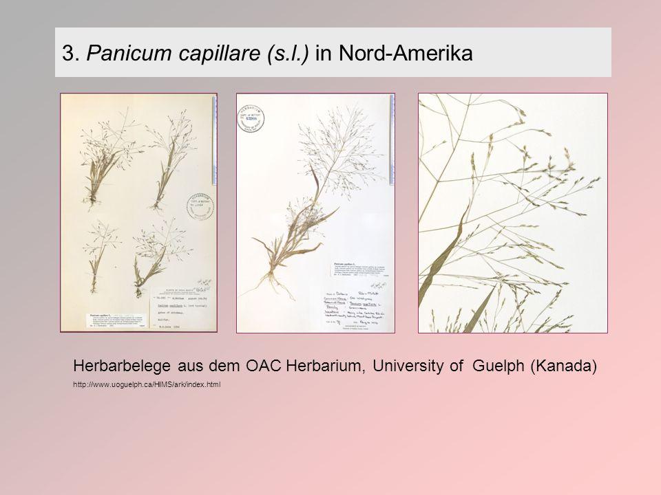 3. Panicum capillare (s.l.) in Nord-Amerika