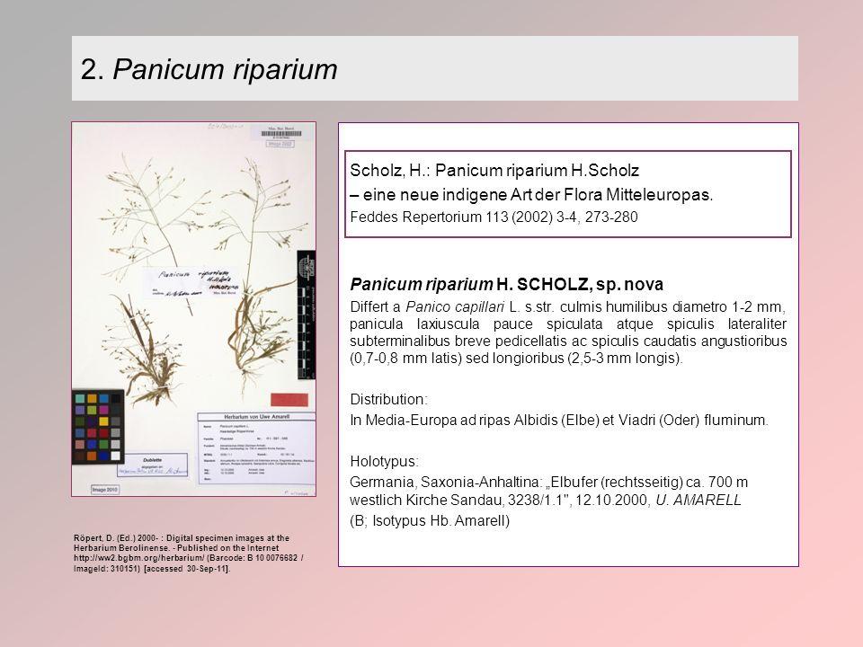 2. Panicum riparium Scholz, H.: Panicum riparium H.Scholz