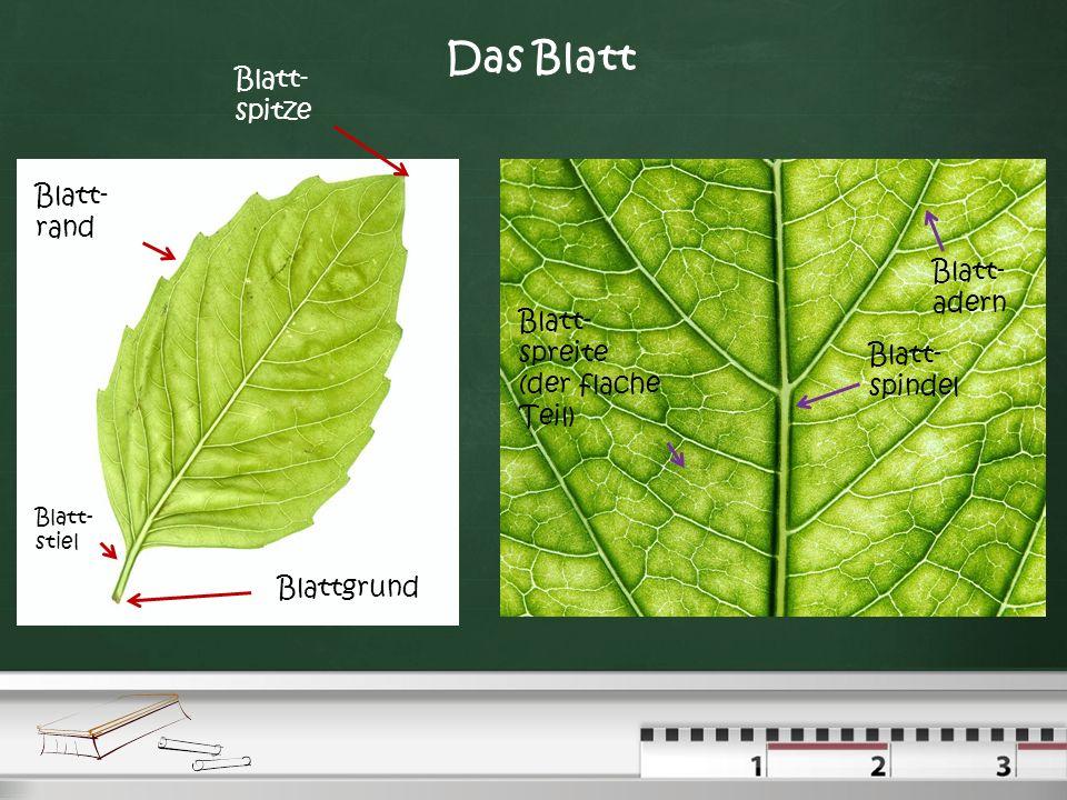 Das Blatt Blatt-spitze Blatt-rand Blatt- adern Blatt-spreite