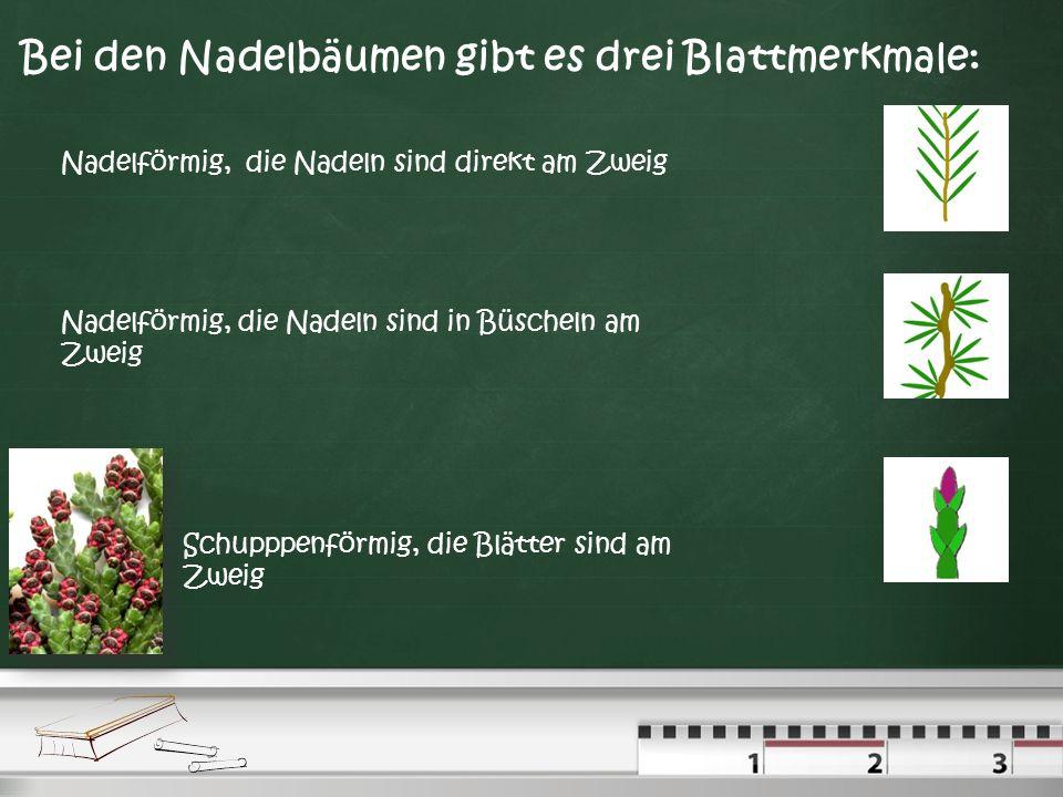 Bei den Nadelbäumen gibt es drei Blattmerkmale: