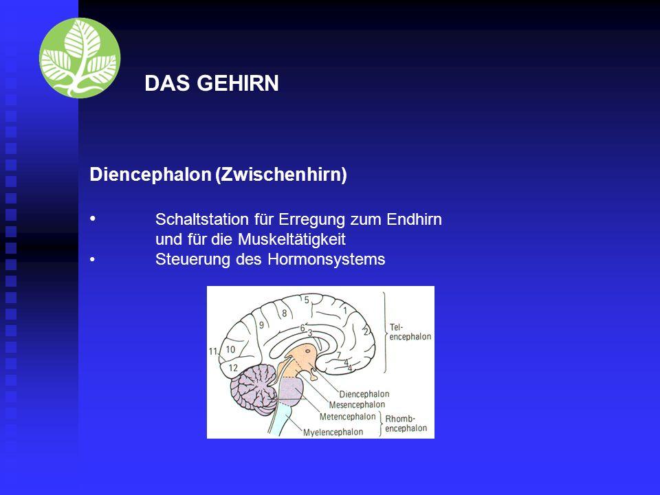 DAS GEHIRN Diencephalon (Zwischenhirn)