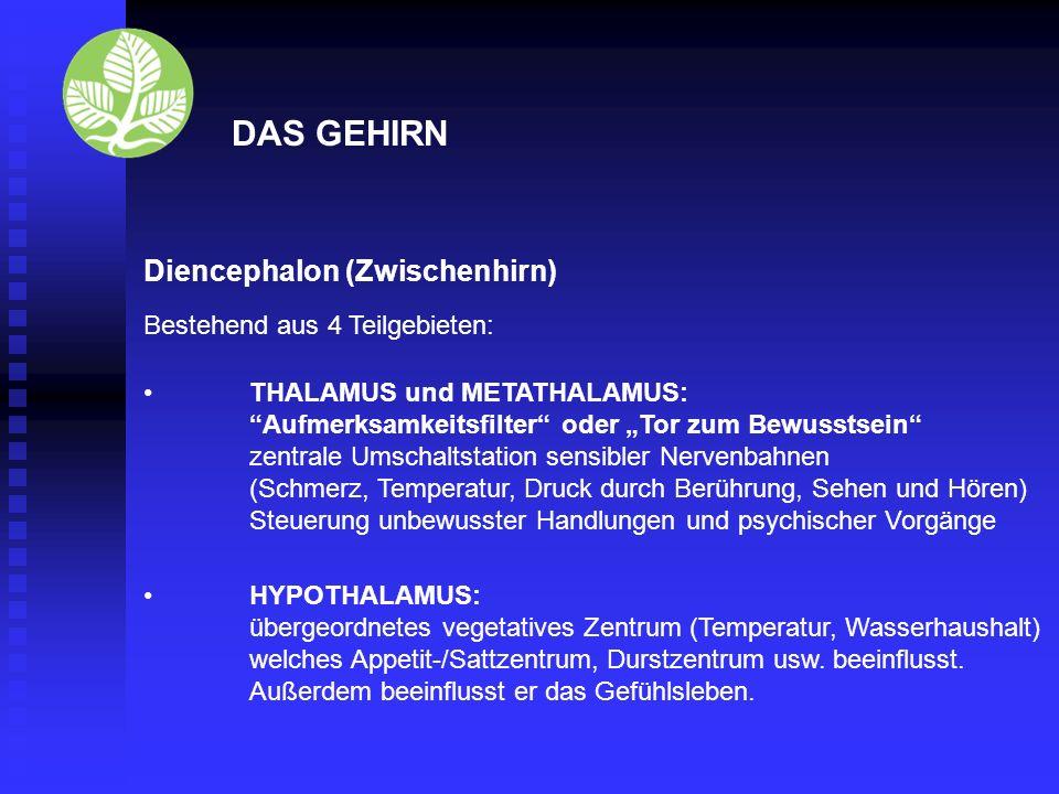 DAS GEHIRN Diencephalon (Zwischenhirn) Bestehend aus 4 Teilgebieten: