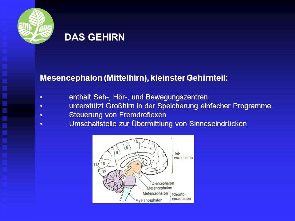 DAS GEHIRN Mesencephalon (Mittelhirn), kleinster Gehirnteil: