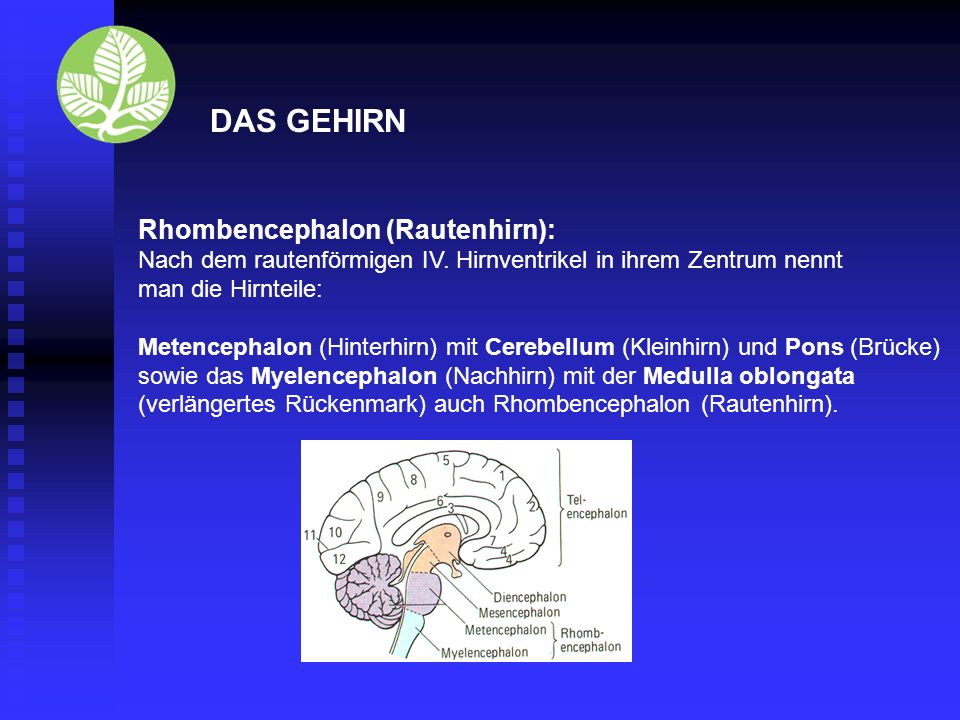 DAS GEHIRN Rhombencephalon (Rautenhirn):