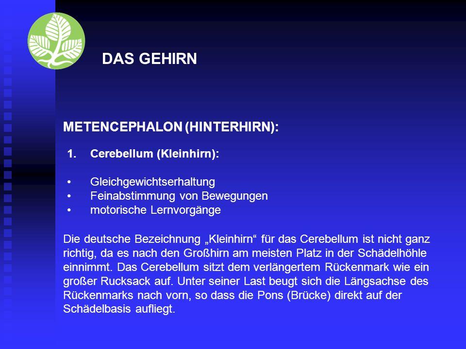 DAS GEHIRN METENCEPHALON (HINTERHIRN): Cerebellum (Kleinhirn):