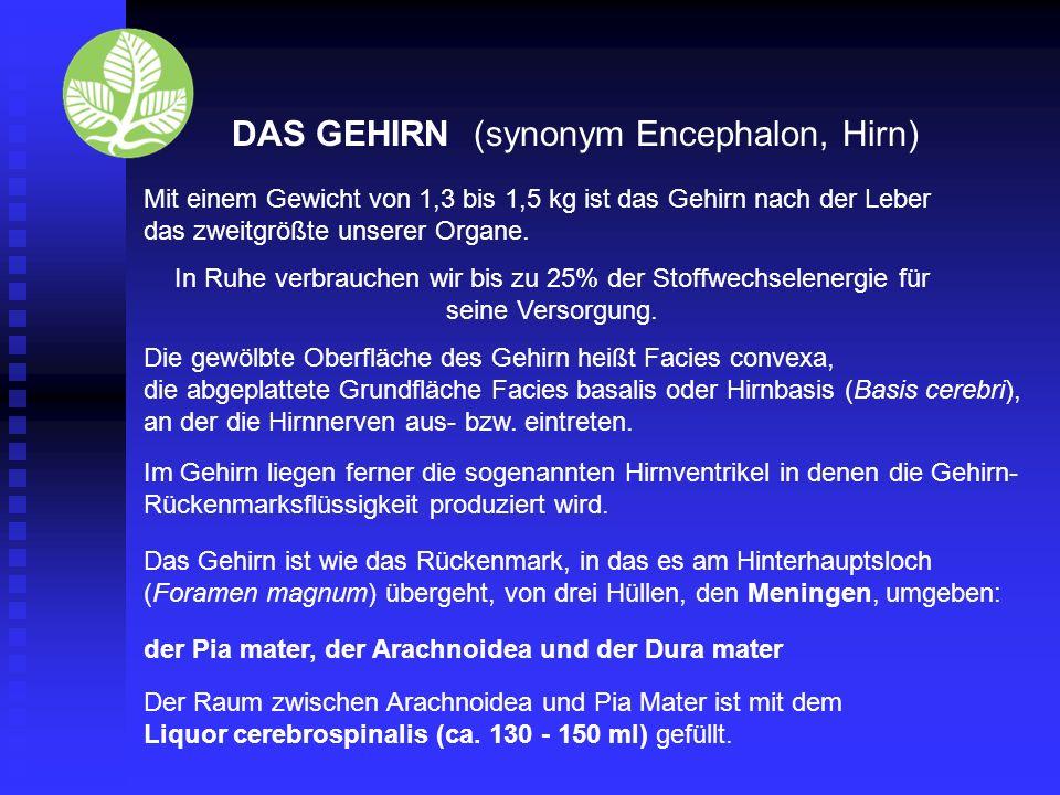 DAS GEHIRN (synonym Encephalon, Hirn)