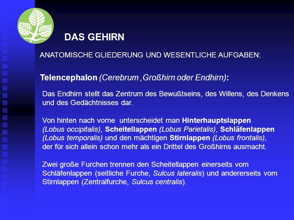 DAS GEHIRN Telencephalon (Cerebrum ,Großhirn oder Endhirn):