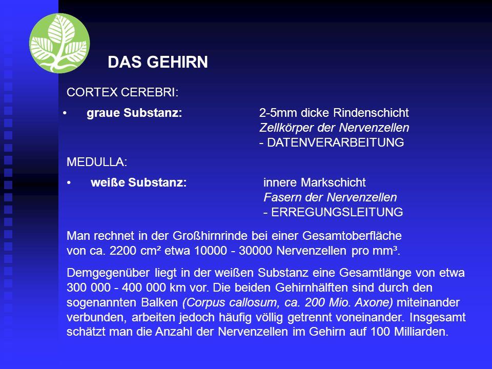 DAS GEHIRN CORTEX CEREBRI: graue Substanz: 2-5mm dicke Rindenschicht
