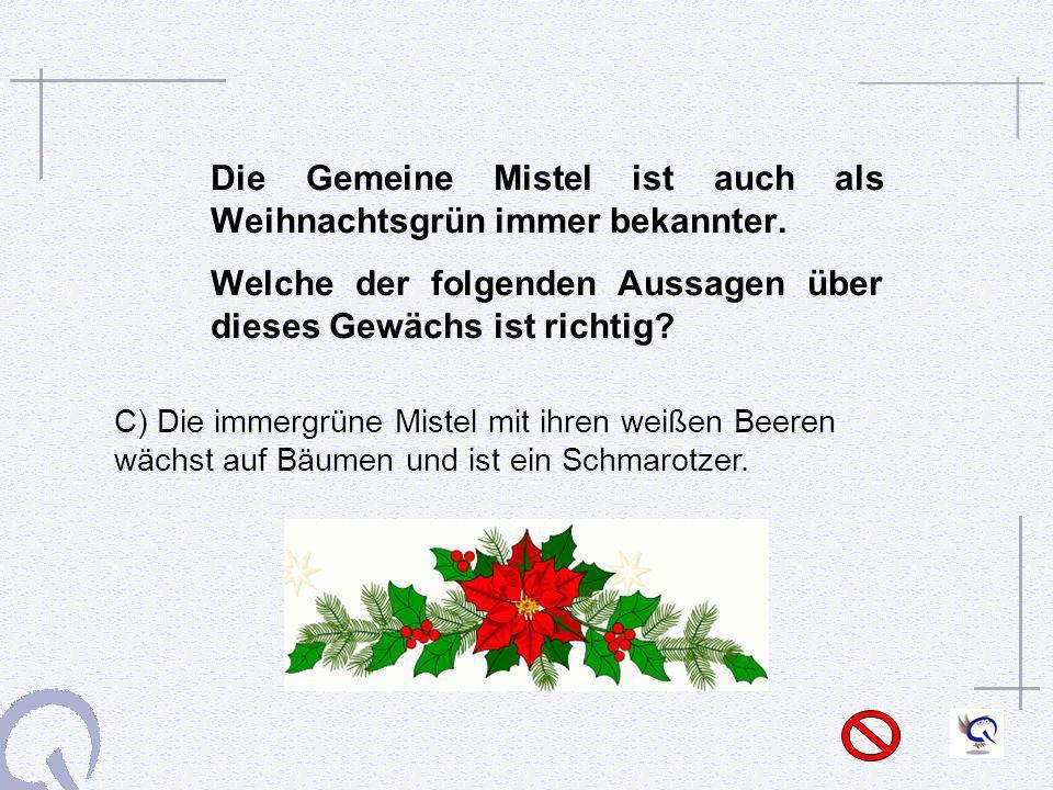 Die Gemeine Mistel ist auch als Weihnachtsgrün immer bekannter.