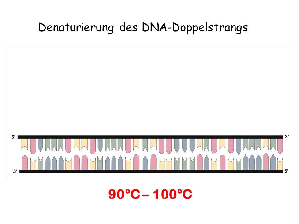 Denaturierung des DNA-Doppelstrangs