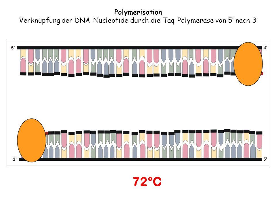 Verknüpfung der DNA-Nucleotide durch die Taq-Polymerase von 5' nach 3'