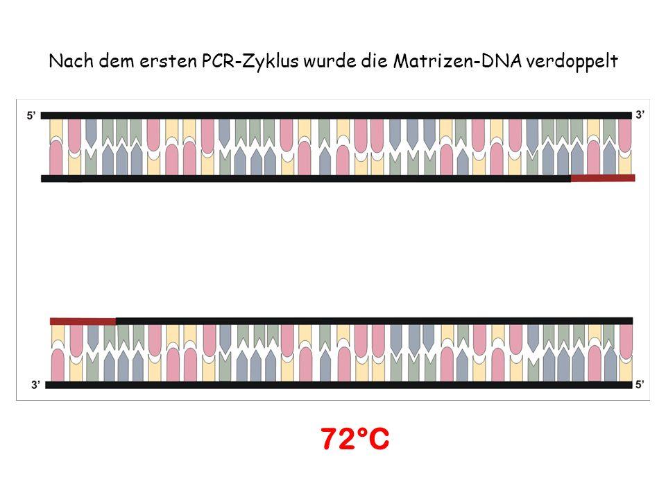 Nach dem ersten PCR-Zyklus wurde die Matrizen-DNA verdoppelt