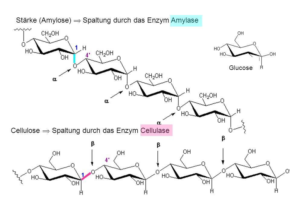 Stärke (Amylose)  Spaltung durch das Enzym Amylase