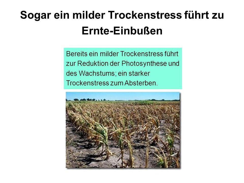Sogar ein milder Trockenstress führt zu Ernte-Einbußen